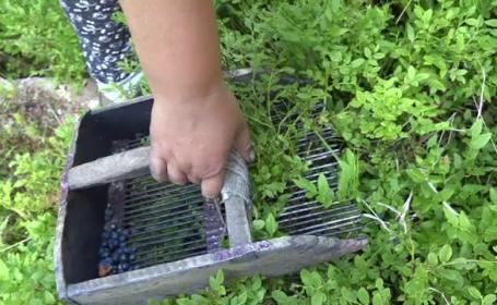 Culegătoare de afine