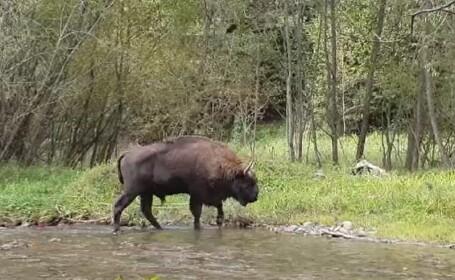 Numele ciudat primit de un pui de zimbru născut în Parcul Naţional Vânători. N-o să-l ghiciți niciodată