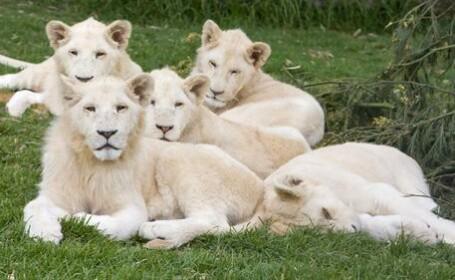 familie de lei albi