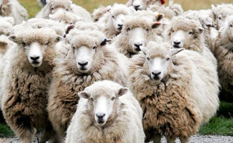 Scandal cu impuscaturi in Maramures! Victime: trei oi omorate de un italian