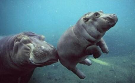 pui de hipopotam