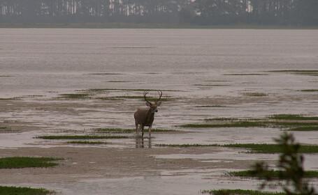 O caprioara a fost salvata din mijlocul unui lac inghetat