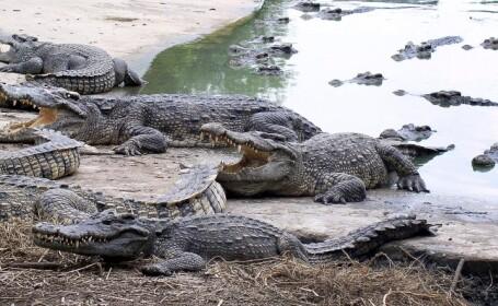 Fenomen neobisnuit din Florida. Sute de crocodili sunt atrasi inexplicabil de o centrala nucleara