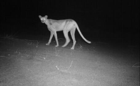 ghepardul de Sahara