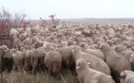 Alerta intr-o comuna din judetul Bihor. Zeci de mioare si caini au murit dupa ce au mancat cornuri otravitoare