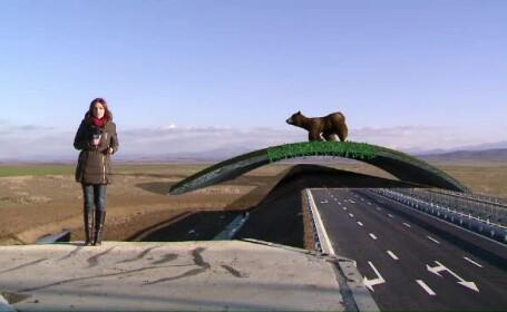 autostrada, ursi