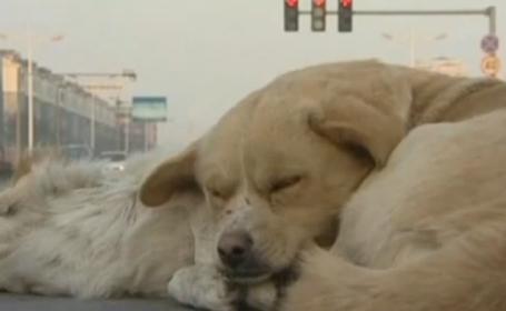 Exemplu de loialitate: un caine din China a ramas alaturi de cadavrul unui prieten, indurand gerul