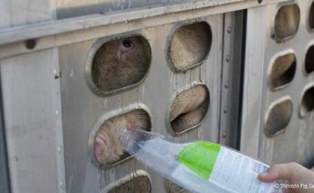 O activista din Canada le-a dat apa unor porci transportati in conditii inumane spre macelarie. Pedeapsa pe care o risca acum
