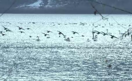 Spectacol fascinant pe un lac din Neamt. Sute de lebede care nu au plecat in tarile calde sunt ingrijite de localnici