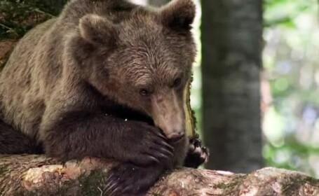ursi, hibernare