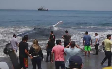 Mobilizare pe o plaja din Chile. Zeci de oameni au sarit in ajutorul unei balene de 20 de metri care esuase in zona