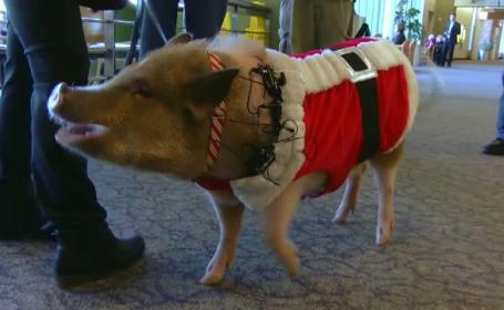 Sedinte de terapie cu un porcusor, intr-un aeroport din SUA. Reactiile pasagerilor care il intalnesc pe Bacon Bits