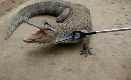 iPhone 7 muscat de aligator