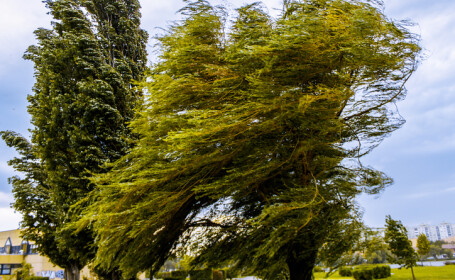 copaci batuti de vant