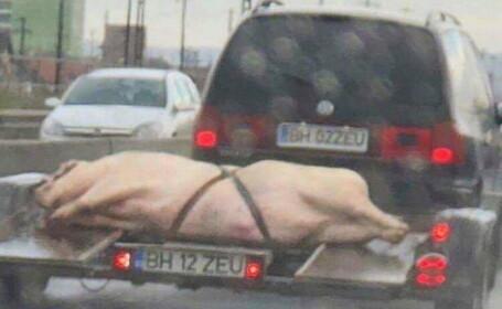 Imaginea zilei la Oradea. Un șofer și-a transportat porcul de Crăciun pe trailer