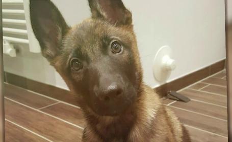 Soarta norocoasă a unui pui de ciobănesc belgian abandonat, găsit apoi de un polițist