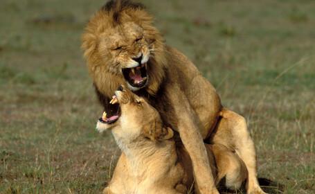 Reacția unui leu în momentul împerecherii a devenit virală. FOTO