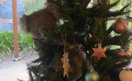 """Cum a ajuns un koala să """"împodobească"""" bradul de Crăciun"""