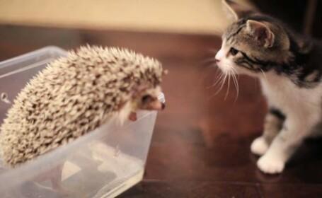 Cum arata prietenia dintre o pisicuta si un arici. VIDEO