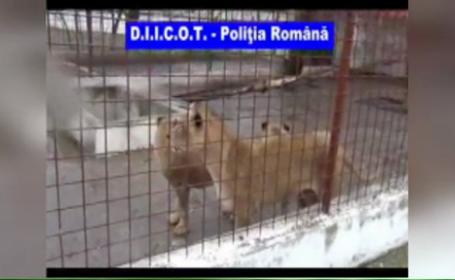 Cei patru lei si doi ursi ai lui Nutu Camataru, ridicati de pe proprietatea acestuia