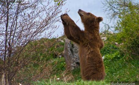 Ursi Parcul Natural Bucegi