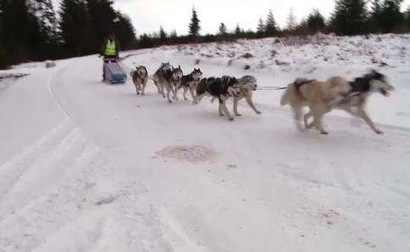 Sanii trase de caini Husky si Malamut, ca in Alaska. Concursul care a adunat sute de oameni, in Cluj