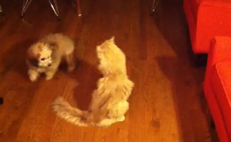 Cum reactioneaza un catelus cand intalneste pentru prima data in viata o pisica. VIDEO