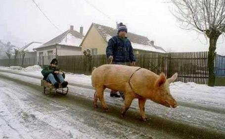 porc Botosani