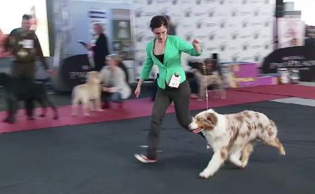 Expozitie canina la Cluj Napoca. Un ciobanesc australian a fost desemnat cel mai frumos exemplar din Romania