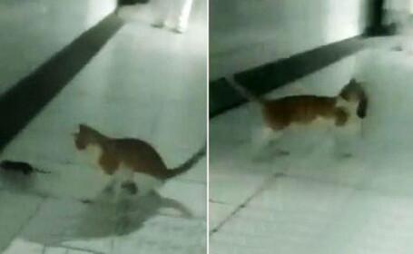 Imagini revoltatoare surprinse intr-un spital. O pisica a fost filmata de medici in timp ce omora un sobolan