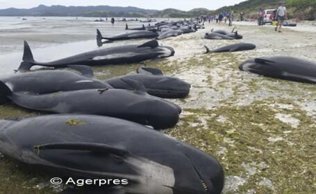 Sute de balene pilot au murit dupa ce au esuat in Noua Zeelanda. Zeci de persoane au facut eforturi pentru a le salva