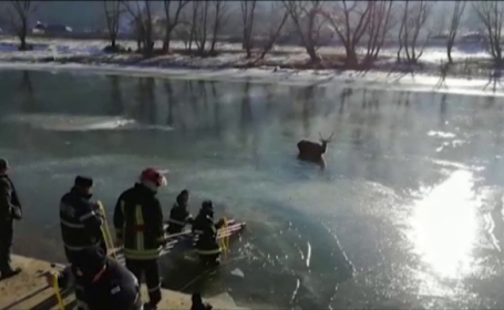 Operatiune dramatica de salvare a unui cerb ramas captiv intre sloiuri, pe raul Bistrita. VIDEO
