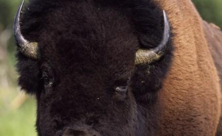 Cum arata bizonul de peste o tona care traieste in casa si a fost cavaler de onoare. Povestea cuplului care l-a adoptat