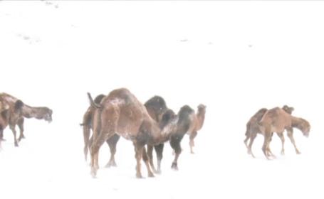 Cateva camile din Turcia au fost filmate in timp ce se bucurau de zapada, in Turcia. Imaginile au devenit viral