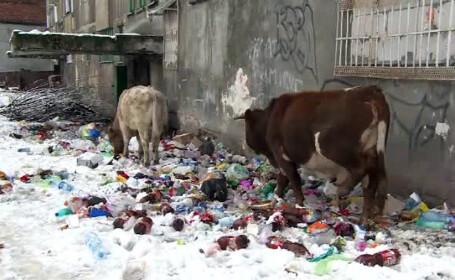 vaci mancand din gunoi in Lupeni