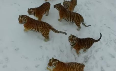 Tigrii care se mentin in forma cu ajutorul unor drone pe care le \