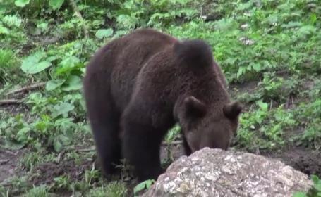 ursi, vanatoare, turisti, ilegalitati