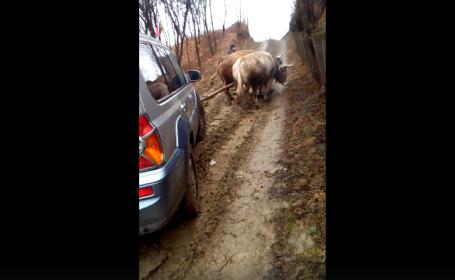 Doi boi loviți în timp ce trag o mașină împotmolită în noroi, în Buzău