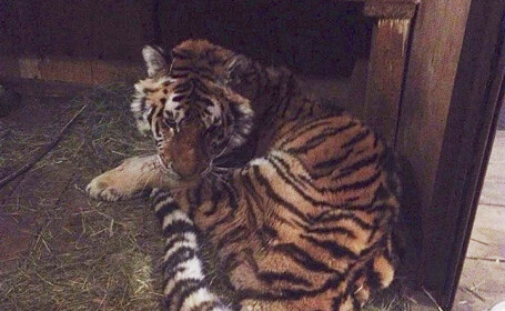 """Un tigru s-a stins sub ochii veterinarilor: """"Se uita în ochii mei și îmi spunea ajută-mă"""""""