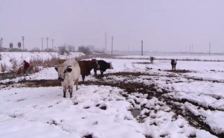 """Zeci de vaci, ținute în condiții mizere de un proprietar inconștient. """"Arată-mi și mie una moartă"""""""