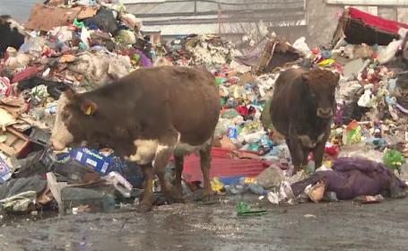 Amendă uriașă pentru un bărbat care își lasă vacile să mănânce din tomberoane