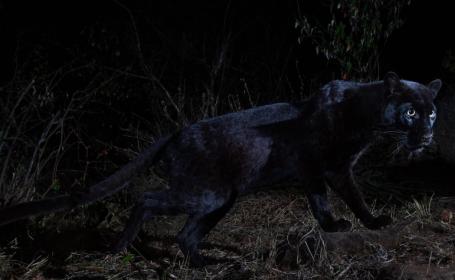Animalul extrem de rar, fotografiat pentru prima dată în 100 de ani. VIDEO