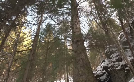 """Brad vechi de 500 de ani, ales pentru a candida la titlul de """"Copacul European al Anului"""