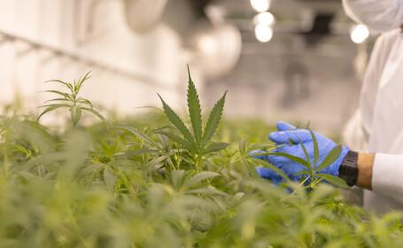 cultura de cannabis