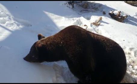 ursul baloo