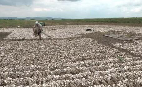 Ajutor de 3.000 € pentru fermierii care cultivă usturoi. Noua cerință din acest an