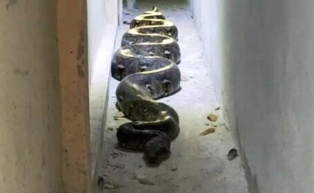 O femeie a descoperit un piton uriaș lângă casa ei, după ce șarpele a mâncat 3 pisici ale unei femei care locuia în zonă