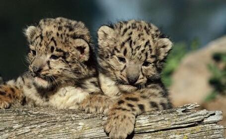 2 pui de leopard sunt noile vedete ale unei gradini zoologice din Paris