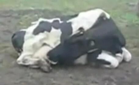 Cea mai lacoma vaca din lume: isi bea propriul lapte!