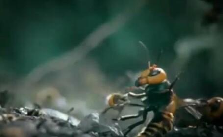 viespe uriasa